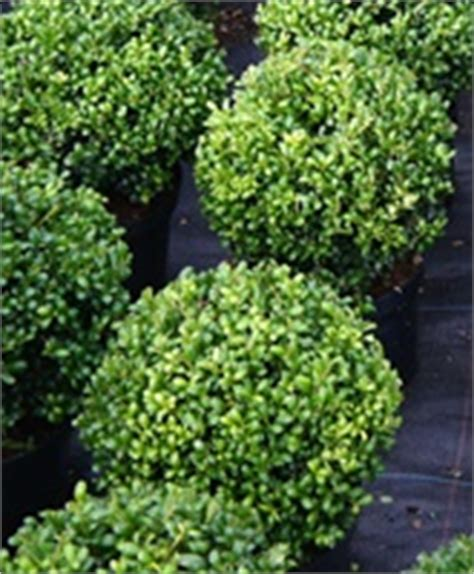 Holly (ilex) hedging and topiary plants for sale