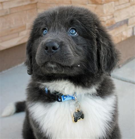 Gandalf the Newfoundland   Puppies   Daily Puppy