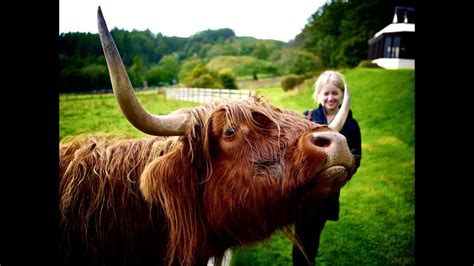 Scottish highland cows have an itch - YouTube