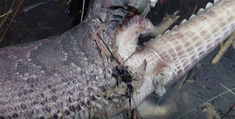 Snake EXPLODES while trying to scoff down alligator