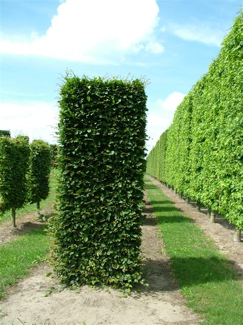 Instant hedging & Topiary Cubes Gallery — Crown Topiary