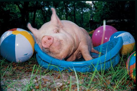 11 Reasons to Love Pigs