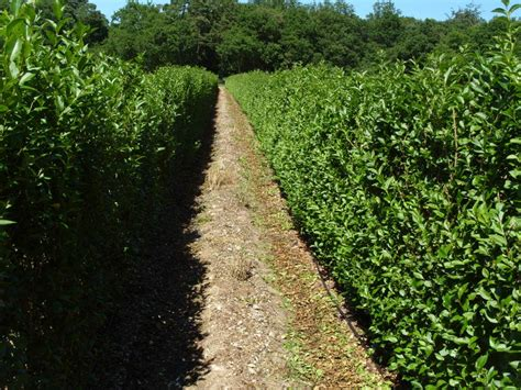 Privet Instant Hedge; evergreen hedging from Practicality