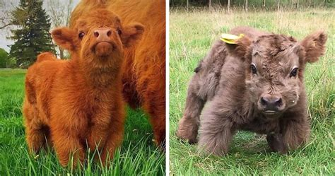 If You Ever Feel Sad, These 85 Highland Cattle Calves Will