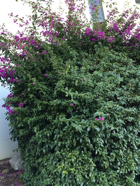 What Is The Name Of This Large Bush With Purple Flowers