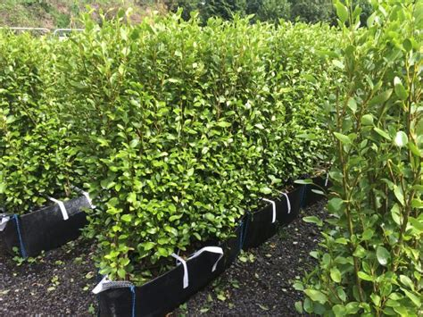 Griselinia Instant Hedge, a mature ready grown hedge from