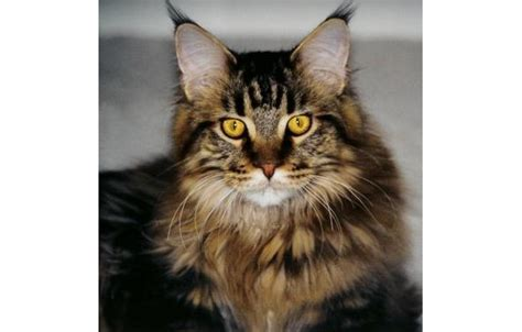 Maine Coon Cats: The Giant Domestic Cat Breed With A