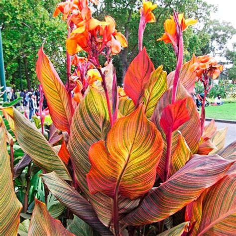 Variegated Giant Canna Phasion | K