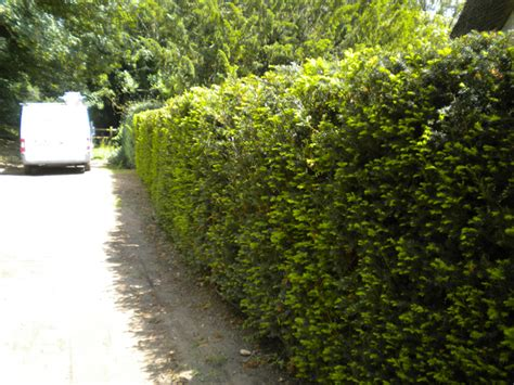 Yew Instant Hedge, mature hedging from Practicality Brown