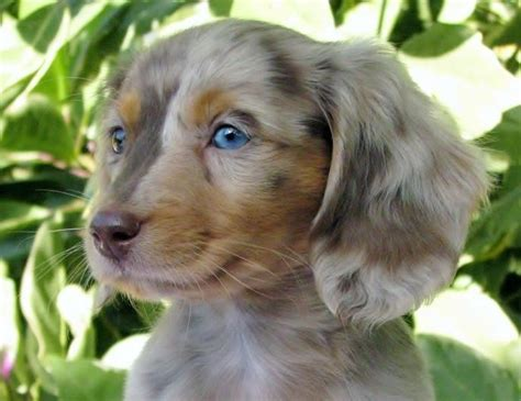 12 Long-haired Miniature Dachshund Facts That'll Impress You