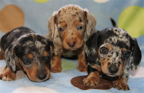 What are the Coat Patterns of the Dapple Dachschund?