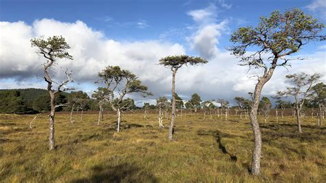 Bog woodland in the Caledonian Forest | Trees for Life