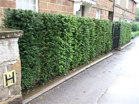 Yew Hedging   Instant Hedging Solutions   InstaHedge