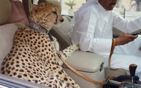 Cheetahs in cars: UAE outlaws 'exotic pets' | Middle East Eye