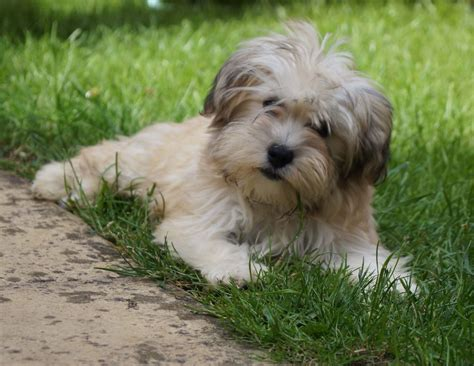 Pure Breed Havanese Puppy Boy for Sale   Ely