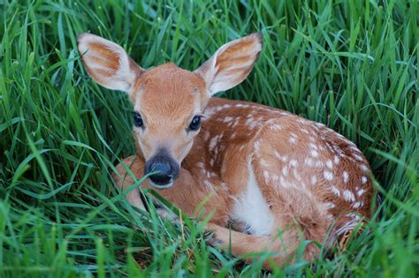 Gestation Period Of Deer - christening outfits baby boy