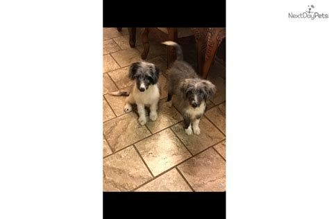 Sheepadoodle puppy for sale near Knoxville, Tennessee