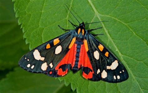 How to attract moths to your garden | The Telegraph